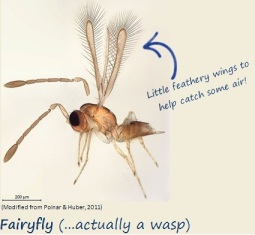 The fairyfly floats on air currents with its little feathery wings.