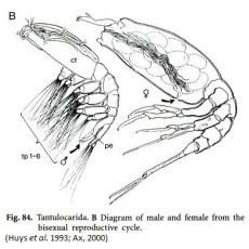 Stygotantulus stocki is the smallest recorded animal