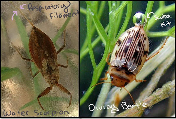 Breathing Underwater Left: A water scorpion uses extension of the tracheal system.  PC: Jeffdelonge, (CC BY-SA 3.0) Right: A diving beetle uses a bubble as a scuba kit.  PC: Wolfram Sondermann (CC BY-ND 2.0)
