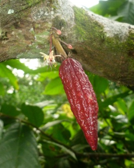 Buds, a flower, and the fruiting pod of a chocolate plant.