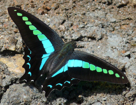 I'm the Common Blue Bottle (Graphium sarpedon). The blue pigment in me is from sarpedobilin, a bile pigment named after me. The green is our friend Lutein.  PC: K. Mohan Raj  (CC BY-SA 3.0)
