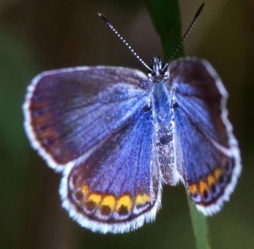 This butterfly is endangered not because of collecting, but because the city of Albany New York was plopped on top of it's restricted and specific habitat.  Hollingsworth, J & K - U.S. Fish & Wildlife Service National Digital Library: WO-5309-020