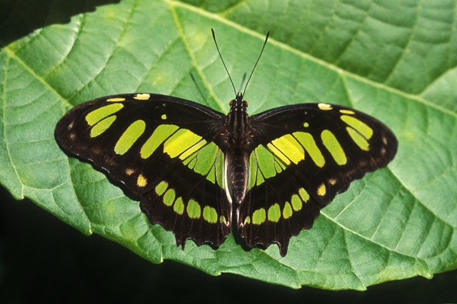 The Malachite Butterfly is really stunning, but apparently not interesting enough to warrant scientific research.  PC: Drriss & Marrionn (CC By 2.0 Generic)