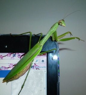 Nancy's pet mantis lived her full expected 6 month adult life span.