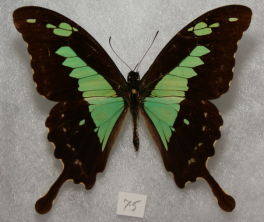 I'm the Apple Green Swalowtail (Papilio phorcas) for which the bile pigment phorcabilin was named after. PC: Dave Rogers (CC BY 2.0)