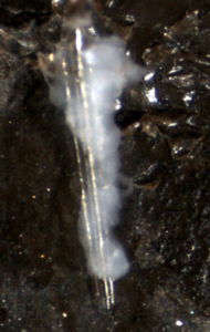 Capsule surrounding a glass rod, taken from Pseudoplusia includens as a part of Joe's thesis project.