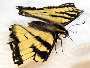 Tiger swallowtail showing age related wing damage. Picture courtesy of Mardon Erbland from Bugguide.