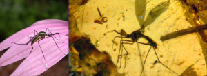 Toxorhynchites comparison