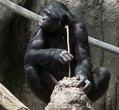 A chimp using a stick to extract termites. PC: Mike R (CC BY-SA 3.0)