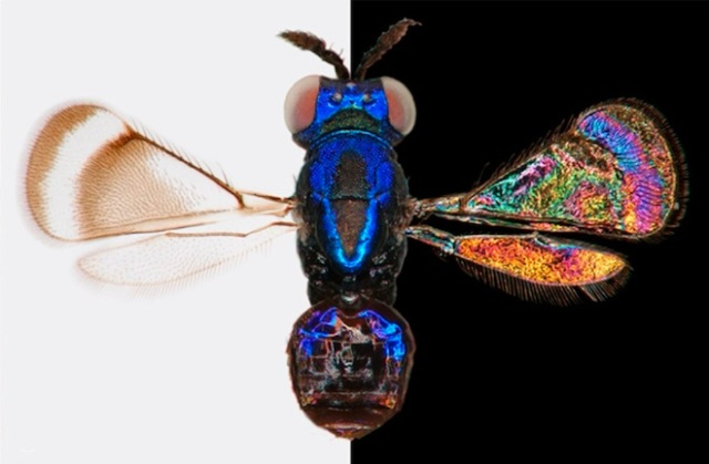 Clear wings can hold a hidden rainbow that can only be viewed against a dark background. PC: Shevtsova  et al.  2010