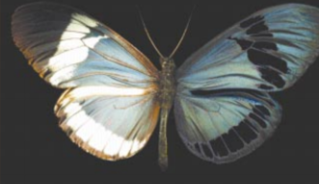 Heliconius cydno photographed in both visible light (left) and through polarization filters (right).  This butterfly has polarized (blue) regions and unpolarized  (black) regions.  PC:  Sweeney et al. 2003