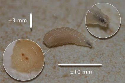 I'm a maggot and nothing more than a breathing digestive system. PC: CedricDW (CC by SA 3.0)