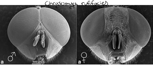 Male and female of a Blow Fly. (Chrysomya rufifacies)  PC: Sukontason et al. 2008
