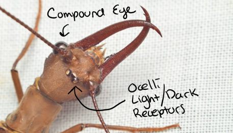 This Dobsonfly has both compound eyes and ocelli. (Neuroptera: Corydalidae) PC: Nancy Miorelli