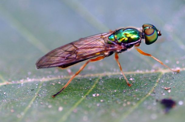 A Soldier Fly. The dorsal top half acts as a pair of sunglasses. PC: Eddie Smith