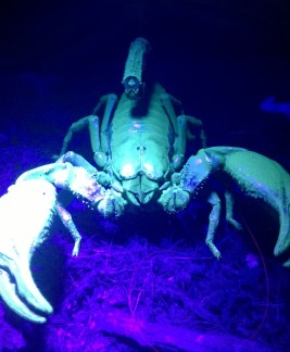 Scorpions glow under UV light. But it's not good for them to have prolonged exposures