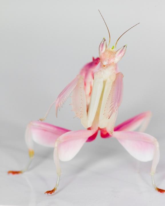 Orchid mantis PC: Frupus (CC by NC 2.0)