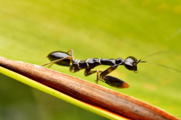 Asian Ant Mantis PC: Wong Ji Shang (CC by NC 2.0)