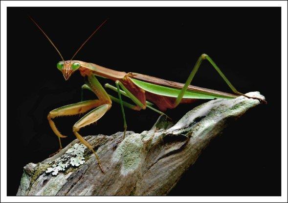 European Mantis PC: Don Taylor (CC by NC ND 2.0)