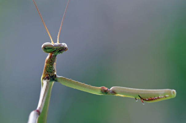 Mantises great at catching things and good at fist bumps PC: (CC by NC SA 2.0)