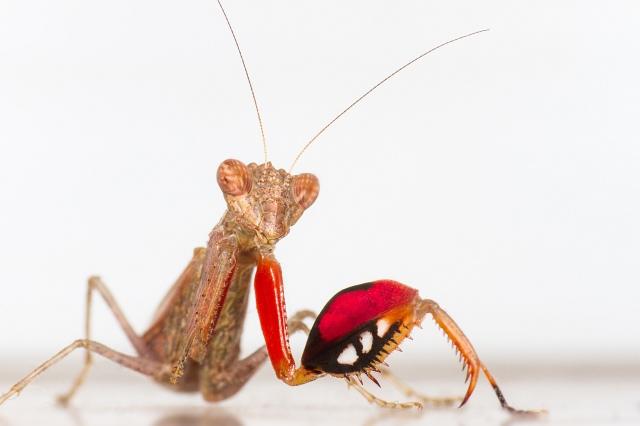 Boxer Mantis PC: Frupus (CC by NC 2.0)