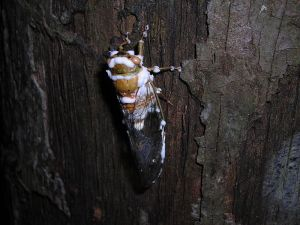 "Cicada infected with Beauveria fungus in Bolivia. Image credit: ""Beauveria bassiana 16552"" by Danny Newman (newmy51) at Mushroom Observer. Licensed under CC BY-SA 3.0 via Wikimedia Commons http://commons.wikimedia.org/wiki/File:Beauveria_bassiana_16552.jpg#mediaviewer/File:Beauveria_bassiana_16552.jpg"