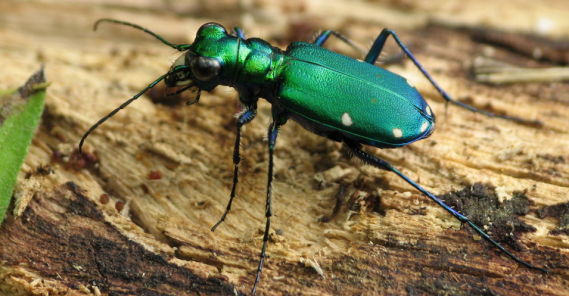 This six spotted tiger beetle can be a shiny addition to your garden.  PC: Lisa Brown (CC By SA 2.0)