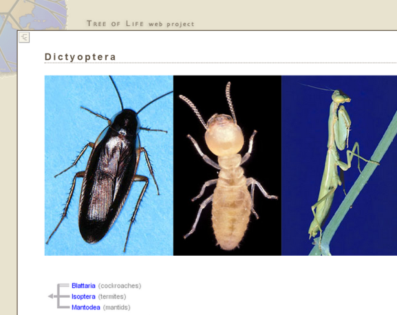 The suborder Dictyoptera includes cockroaches and mantis. It's believed now that termites (isoptera) are included in the cockroach order (Blattodea) PC: Tree of Life Web Project