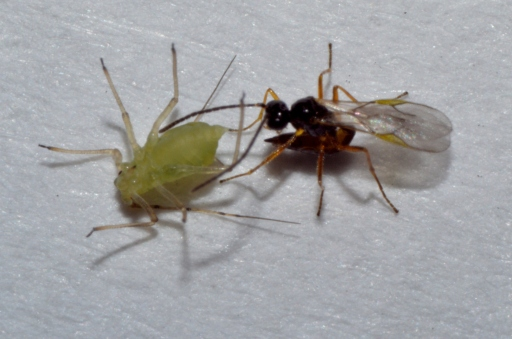 This parisatoid wasp is about to inject an egg into this unsuspecting aphid.  PC: Nancy Miorelli