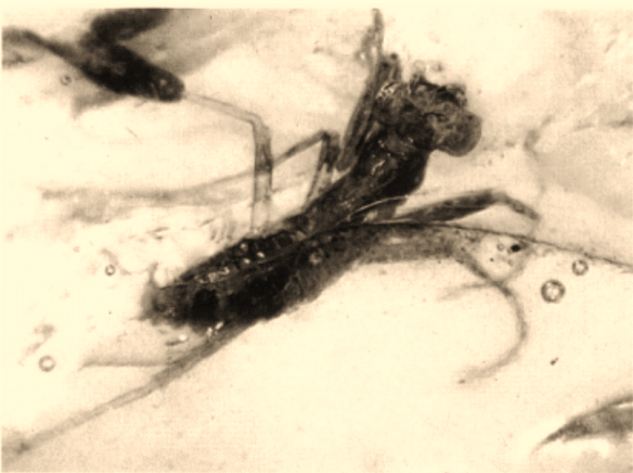 This mantis was found in Amber from the Cretaceous period PC: Grimald, 1997