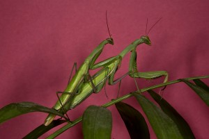 Mating mantids. If the male can get this far, he's more or less home free. Most cannibalism happens before mating, and not during mating. Picture credit: Oliver Koemmerling, from Wikimedia Commons. Picture used under GNU Free Documentation Liscense.
