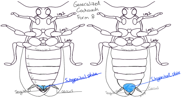 Two types of subgenital plates in cockroaches. Generalized drawing by Nancy Miorelli