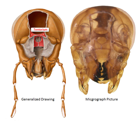 The Cephalic Tentorium in cockroaches.  PC: The Virutal Roach by Joe McHugh and Gene N. Wright