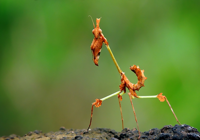 Violin Mantis PC: Shantanu Kuveskar (CC by SA 3.0)