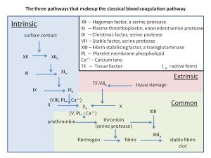 Blood clotting pathway