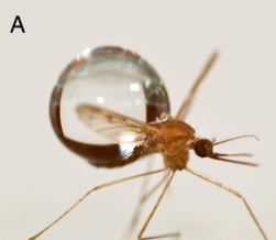 Raindrop size in relation to a mosquito.  PC: Dickerson et al. 2012
