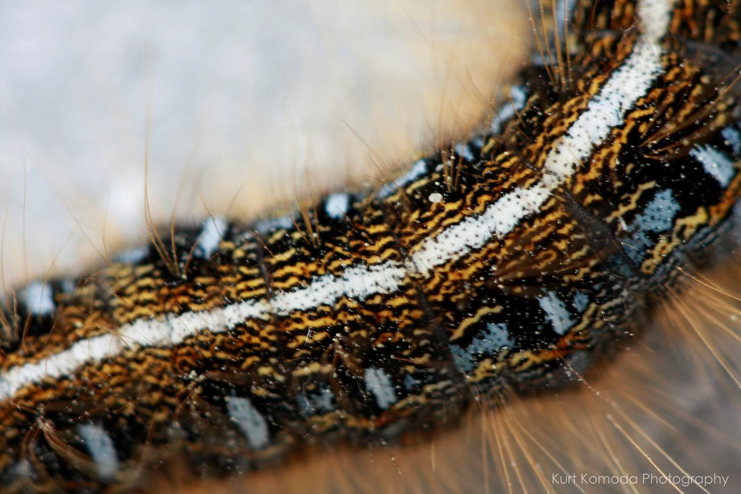 why are caterpillar hairs itchy why do caterpillar hairs cause