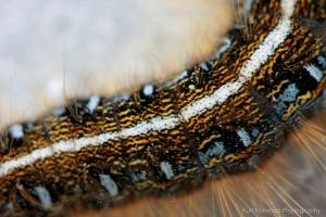 Closeup of an Eastern Tent Caterpillar, Malacosoma americanum showing bristles on the skin. The uriticating hairs are too small to be visible in this picture. Image credit: Kurt Komoda, via Fliker. License info: CC-BY-NC-ND-2.0