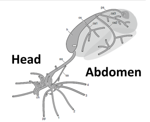 A schematic of the spider circulatory system, showing the important veins and arteries. The picture is situated with the head to the left. The important bits are as follows: Ch: Mouthparts (Chelicerae) PP: PediPalps 1,2,3,4: Legs h: Heart