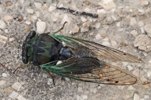Annual cicada, Tibicen sp., which has a beautiful camoflauge motif. Picture credit: Mary Kelm. License: CC-BY-NC-SA-2.0
