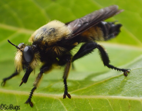 This is a harmless robber fly that makes a pretty convincing bee,