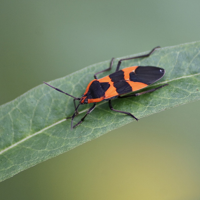 I'm the Large Milkweed Bug. I'm poisonous so don't eat me. I can still bite, so handle me with care.  PC: Lucy Mills (CC by NC ND 2.0)
