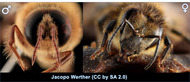 The better to see you with my dear! Male (left) and female (right) Honey Bees (Apis mellifera)