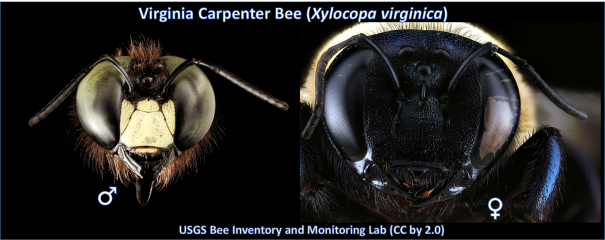 Showing the male and female faces of the Virginia Carpenter Bee.