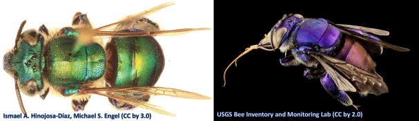 These are two orchid bees representing different species.  Left: Euglossa obtusa Right: Euglossa sp.