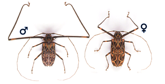 Male (left) and female (right) of the Harlequin Beetle (Acrocinus longimanus).