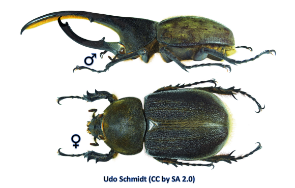 Male (top) and female (bottom) of the Hercules Beetle (Dynastes hercules lichyi)