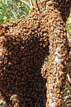 Swarming honey bees! Up to 30,000 can leave a hive to go start a new one. PC: Fir0002 (CC by NC)