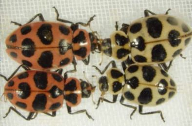 Mutant ladybirds, Coleomegilla maculata, from a laboratory population maintained at the USDA. The insects on the left are normal, while the insects on the right have defective pigmentation.