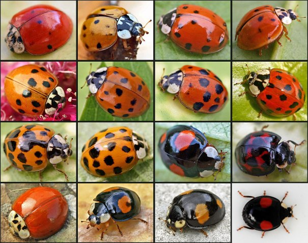 Good luck. We're all the Mulicolored Asian Lady Beetle.  Just like how dogs that are the same breed can look different, these ladybugs do too.  PC: entomart